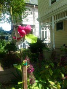 Magnolia we planted for Jules' Placenta